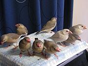 文鳥の雛(ヒナ)を語る会