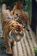 タイガーカレー