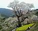 高知☆ひょうたん桜
