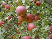 リンゴ大好き!