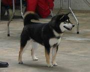 ◆◇柴犬(日本犬)展覧会◇◆