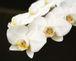 胡蝶蘭 -phalaenopsis-