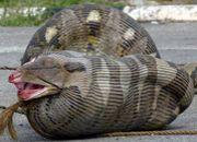 ヘビの捕食