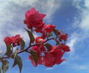 沖縄に咲くちゅら花