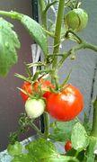 シロウトの野菜作り〜私の園〜