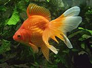金魚を見てると癒される