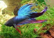 ベタは熱帯魚