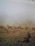 エゾシカ(タイリクジカ)