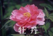 中国語サークル牡丹