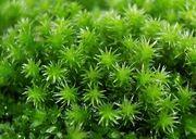 蘚苔類 - Bryophyte Moss 苔 -