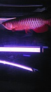 ☆一番古代魚絶対古代魚☆