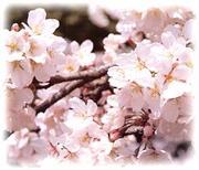 桜が好きなんですっ!