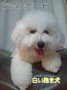 ビションフリーゼ・白い抱き犬