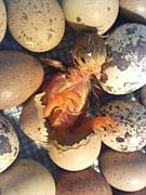 卵からひよこを孵化させたいっ!