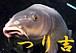 つり吉 [鯉]