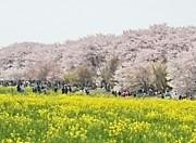 桜  夜桜