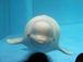 白イルカが好き!!