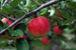 りんご狩り情報in小野りんご園