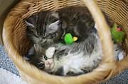 ロシアンブルー〔猫好き〕集合☆