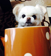 ペキニーズ×チワワのミックス犬