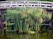 パピルスと睡蓮のある池