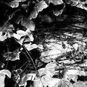 an ivy