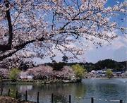 桜の街 東金