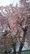 桜の花が好き。
