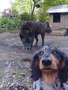 甲斐犬とダックスフント
