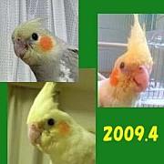 2009年4月生まれのオカメインコ