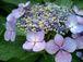 萼紫陽花(がくあじさい)