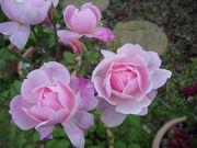 イングリッシュローズの香る庭