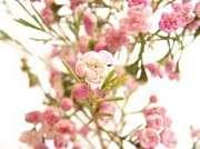 †Wax Flower†