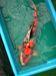錦鯉を楽しむ会