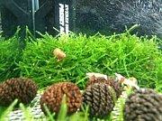 レッドビーシュリンプ(熱帯魚)
