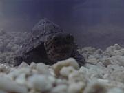カブトニオイガメ