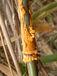 竹類寄生菌