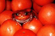 トマトガエルを愛してる