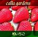 calla gardens(柏のいちご)