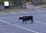 モギューっと絞って牛の乳♪