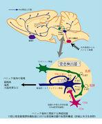 セロトニン神経を鍛えよう
