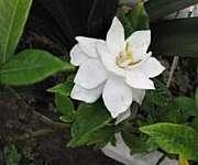 くちなしの花*