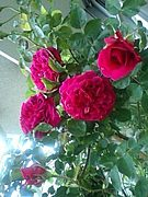 薔薇を咲かせましょう!