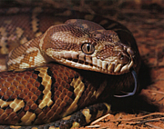 Morelia(モレリア)属のヘビ