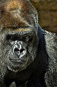 ごりら Gorilla
