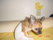 Team Chihuahua