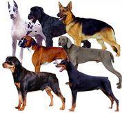 German Dog Club