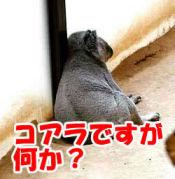 動物占い / コアラ