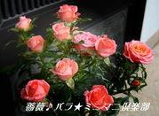 薔薇♪バラ★ミニマニ倶楽部