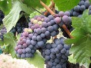 ◆Crushpadでワインを作りたい◆